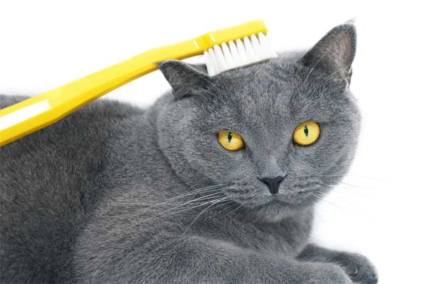 How to Brush a Cat's Teeth
